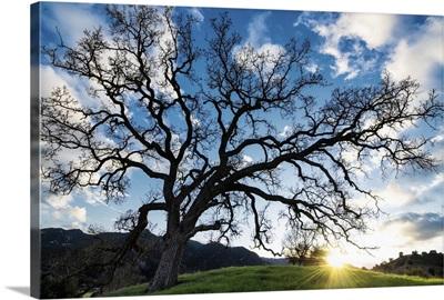Sunset Oak