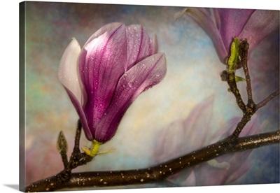 Textured Saucer Magnolias