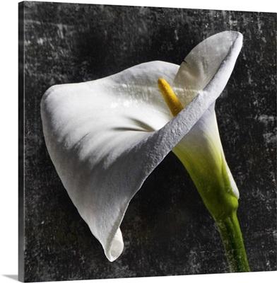 White Calla I