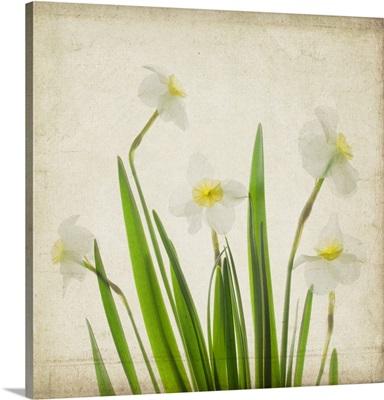 White Daffodil Garden