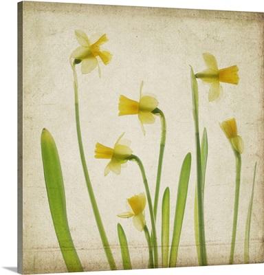 Yellow Daffodil Garden