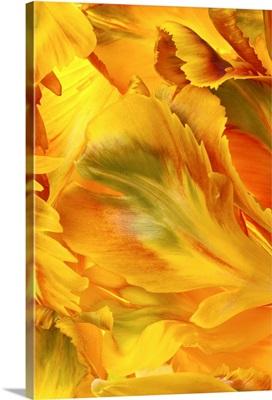 Yellow Tulip Petals I