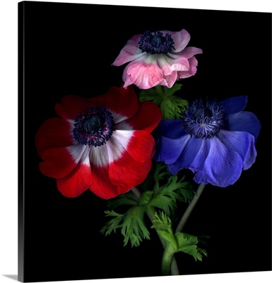 Anemone flowers