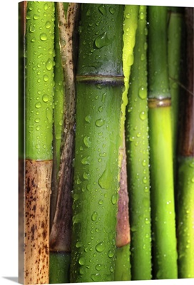 Bamboos crying