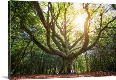 Big old broceliande beech tree