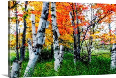 Birch Trees in Diffused Light During Fall, Acadia National Park,
