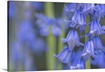 Bluebells In Abstract