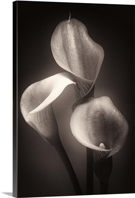 Calla Lilly Sepia