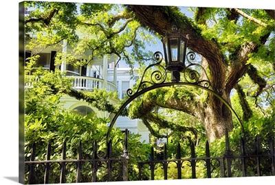 Charleston Oak Tree