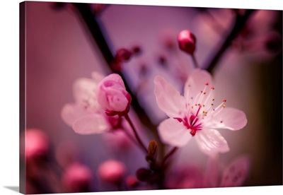 Cherry Blossoms IV