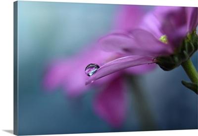 Chrysanthemum's Drop