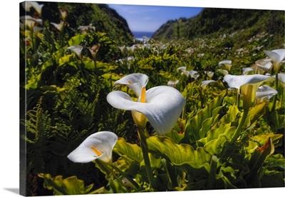 Coastal Lilies