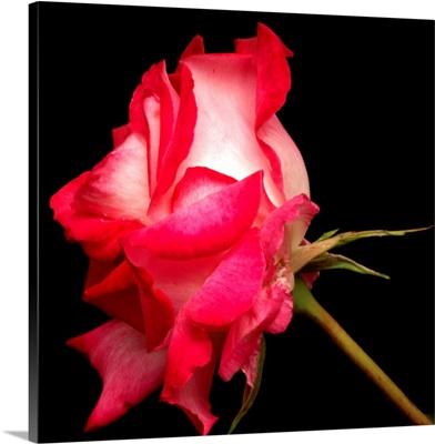 Duotone rose