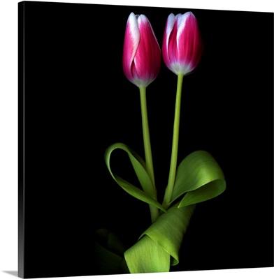 Duotone Tulips