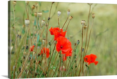 Flanders fields - poppies