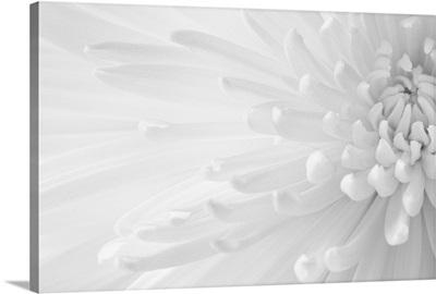 Gentle Chrysanthemum I