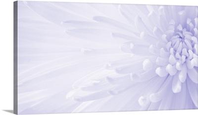 Gentle Chrysanthemum IV