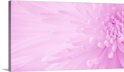 Gentle Chrysanthemum IX