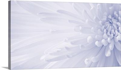 Gentle Chrysanthemum V