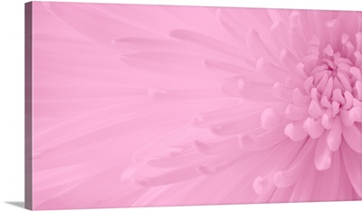 Gentle Chrysanthemum VIII