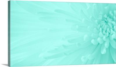Gentle Chrysanthemum X