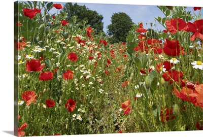 In among the poppies and daisies