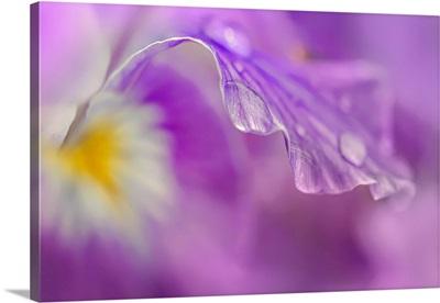 Iris Drop