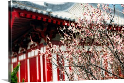 Japanese Plum Tree Blossoming at the Huaqing Hot Springs, Linton