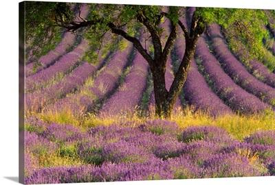 Lavender Divine