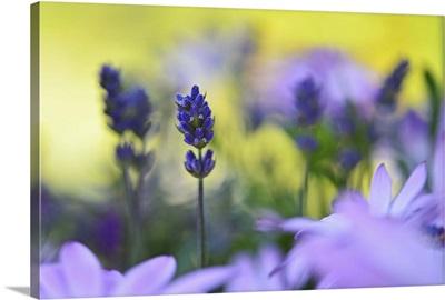 Lavender In The Flower Field