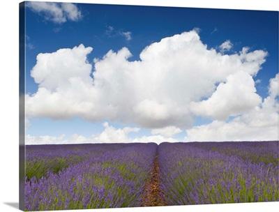 Lavender Rows II