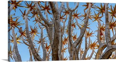 Namibia, Quiver Tree (Kokerboom