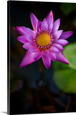 Paksee Water Lily