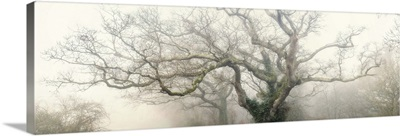 panoramic octopus ghost oak