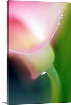 Pink Calla