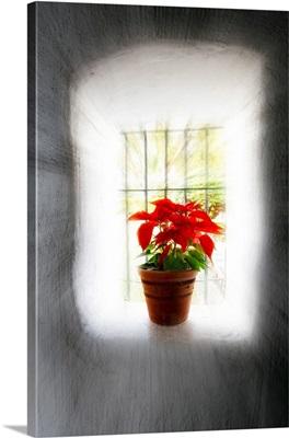 Poinsettia in Window light