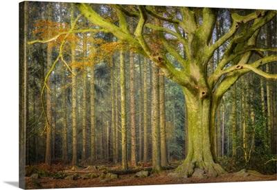 Ponthus Beech Tree