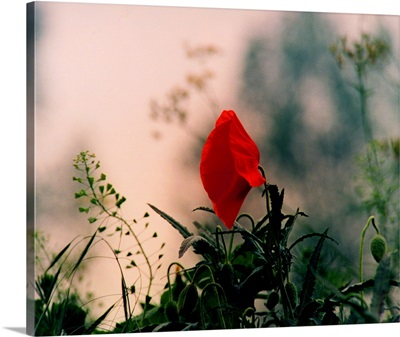 Poppy on fields of war