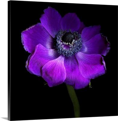 Purple Anemones Heart