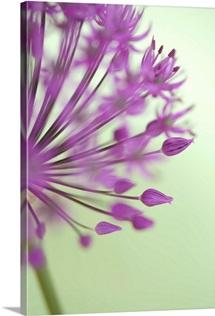 Purple Haze 6