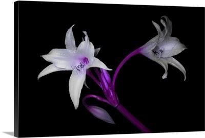 Purple Twins