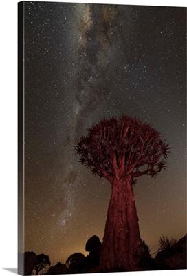 Quiver Tree, Namibia II