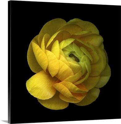 Ranunculus Close-Up