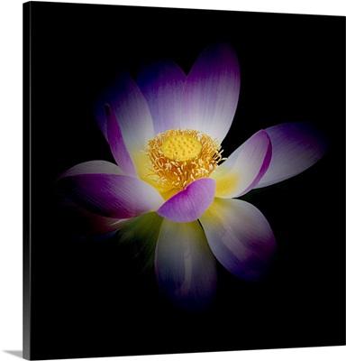 Rebirth of a Luminous Lotus
