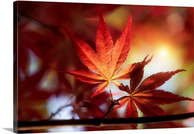 Red Maple Leaves At Sunset