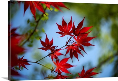 Red Spring And Maple Leaves