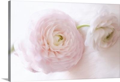 Renoncules Rose