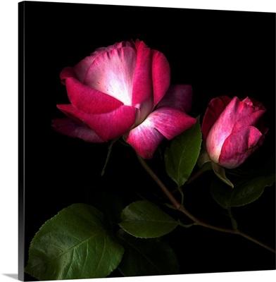 Rose two tones