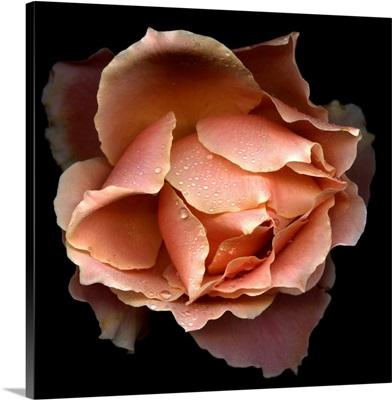 Salmon rose