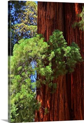 Sequoia Art